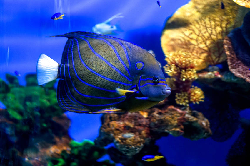 The most beautiful fish (for me) that I saw in the entire aquarium planet. I think it's an emperor angelfish, but please do correct me if I'm wrong.