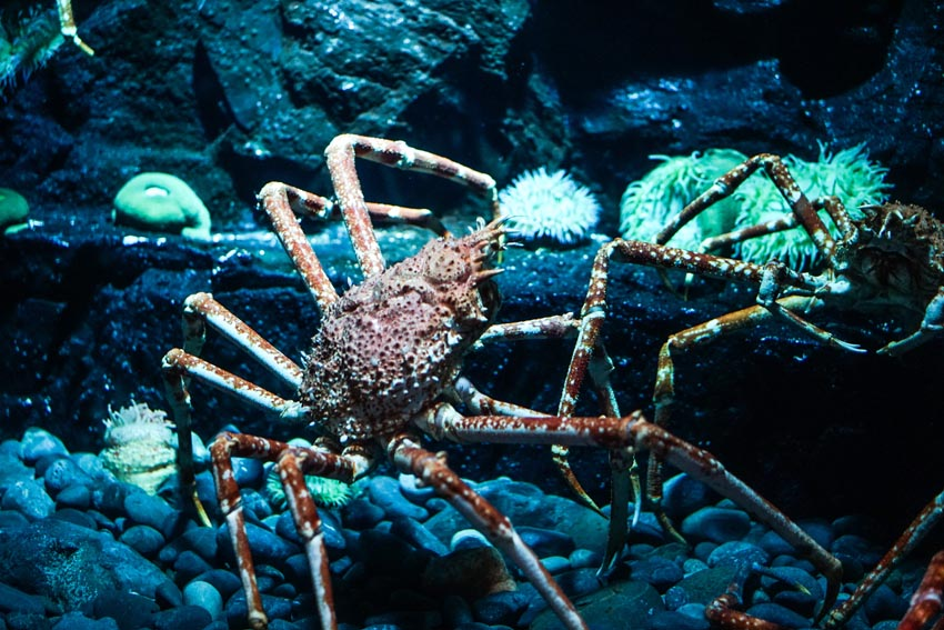 Japanese spider crab. They have extra long legs!