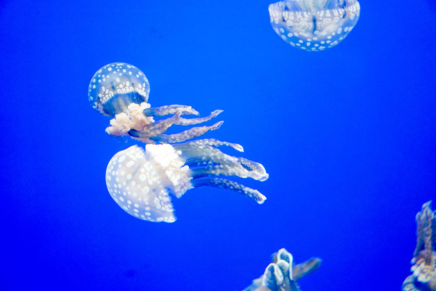 I spotted a spotted jellyfish!